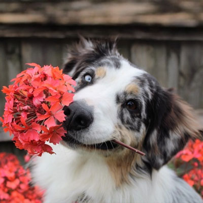 Dog with flower in his mouth