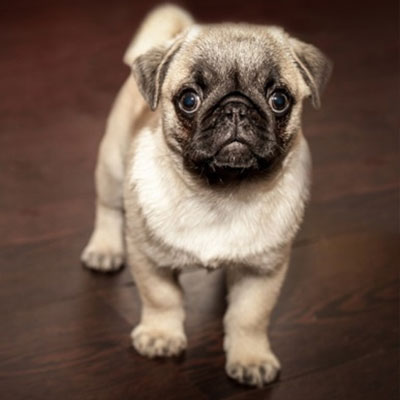 A Sweet and Charming Little Pug Puppy