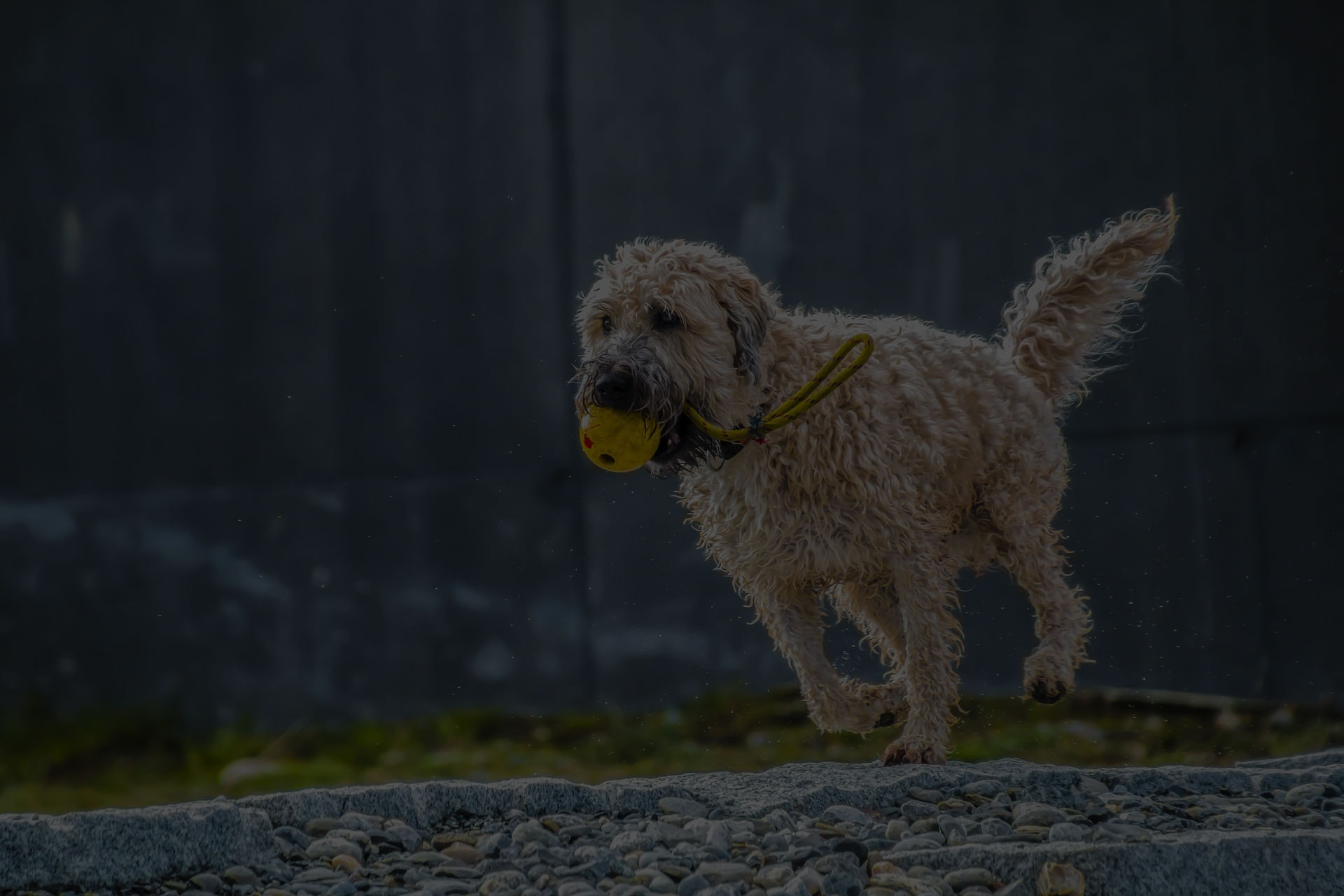 Dog playing with yellow ball